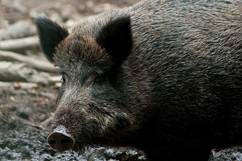 Don't be a boorish boar.