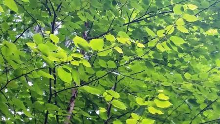 lighter green leaves